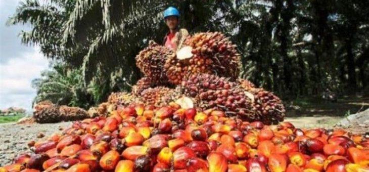 Kelangkaan Tenaga Kerja Mempengaruhi Produksi Sawit Malaysia